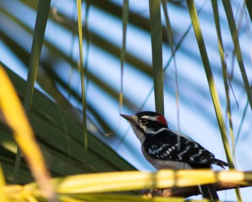 babywpecker