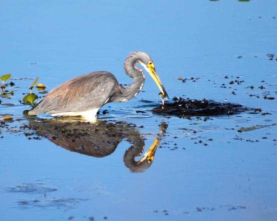 Tri-colored heron stalking food at Orlando Wetlands Park