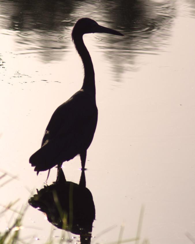 Shadow-heron