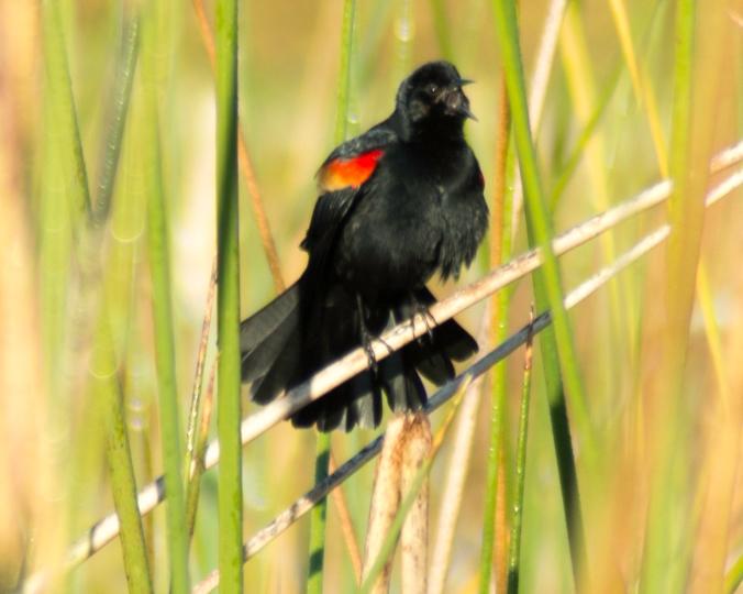 red-wing-black-bird