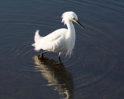 Snowy Egret at the Waters Edge - taken January 2015 Merritt Island Wildlife Refuge