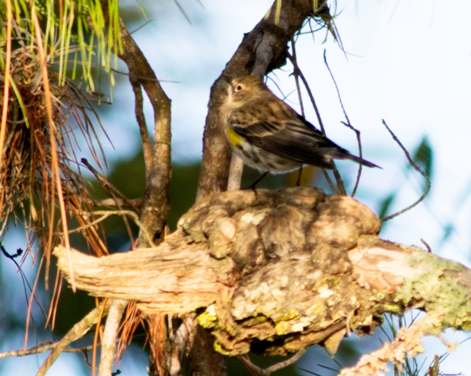 yellowrumpedwarbler
