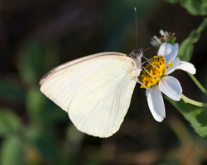 florida-white-butterfly