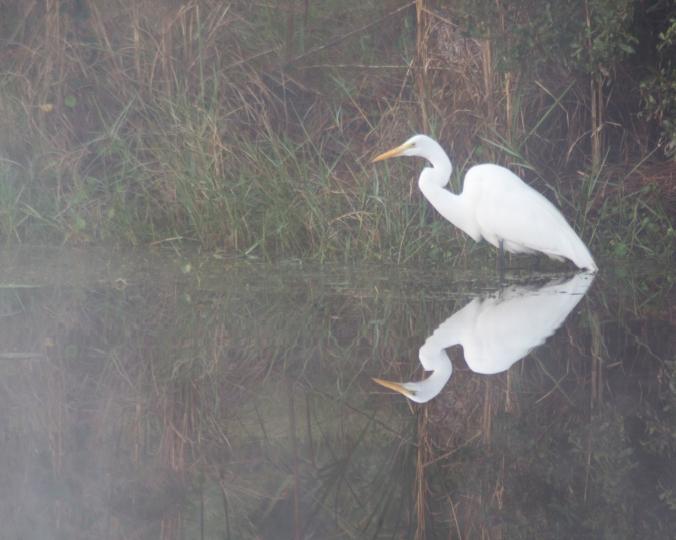 fog egret