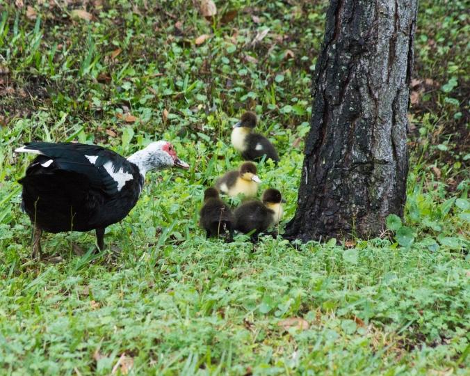 Muscovy-Ducks
