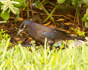 common-grackle
