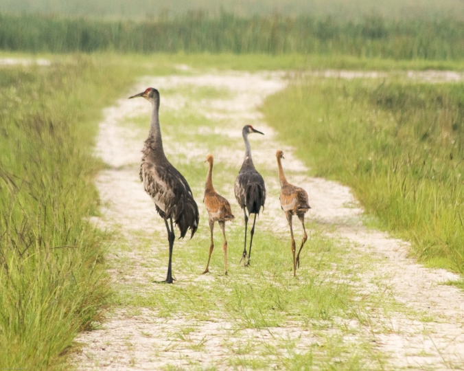 sand-hill-crane