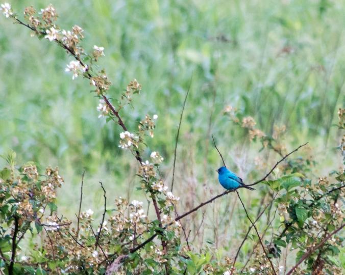 eastern-bluebird