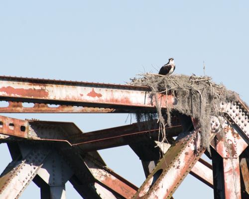 bosprey