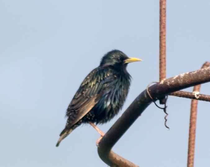 eurasion-starling
