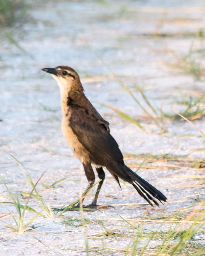 boattail-grackle