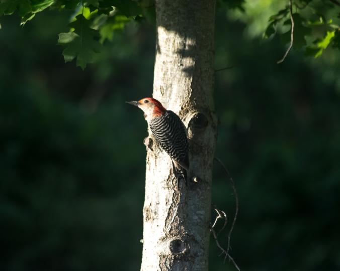 red-belly-woodpecker