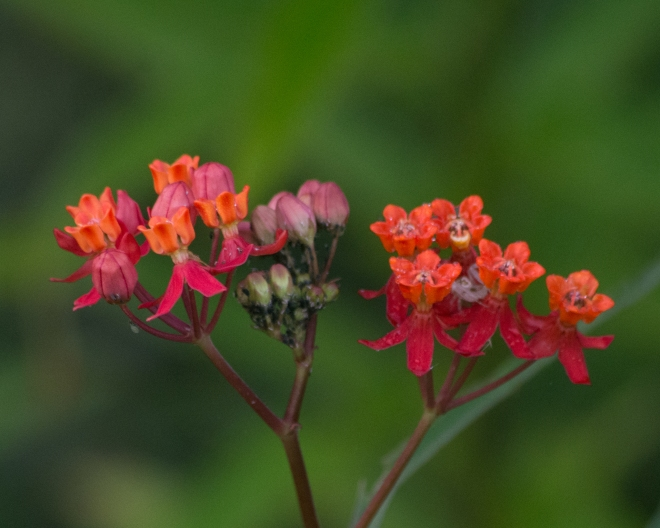 fewflower-milkweed