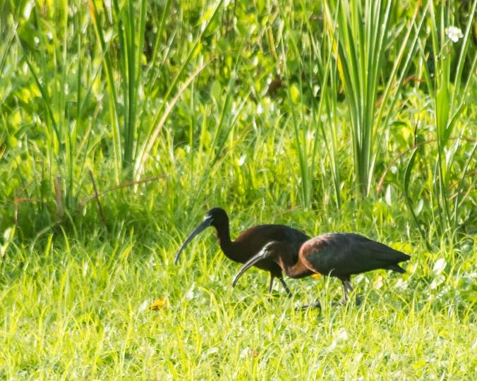 glossy-ibis