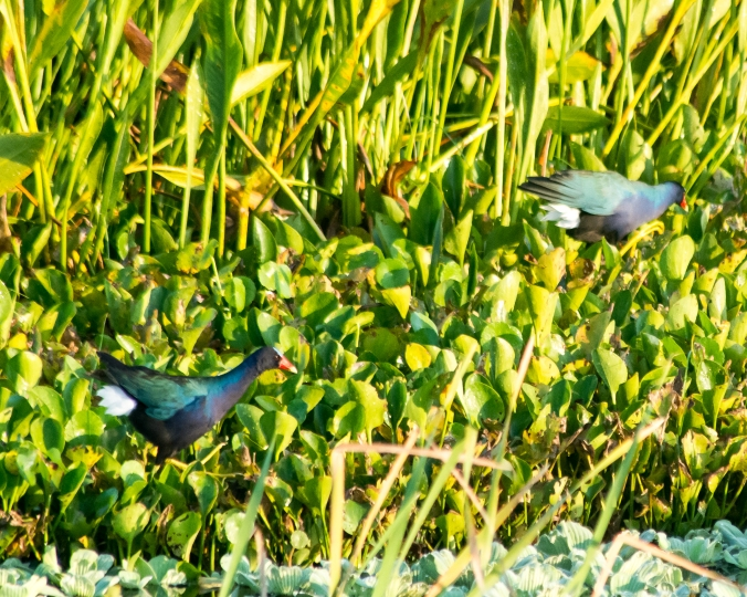 purple-gallinule