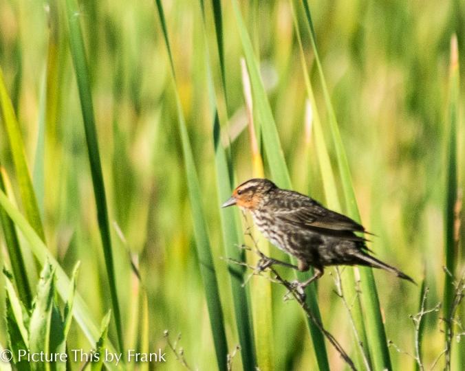 red-wing-blackbird