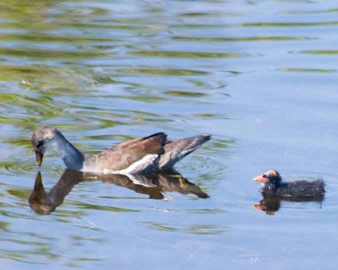 common-gallinule