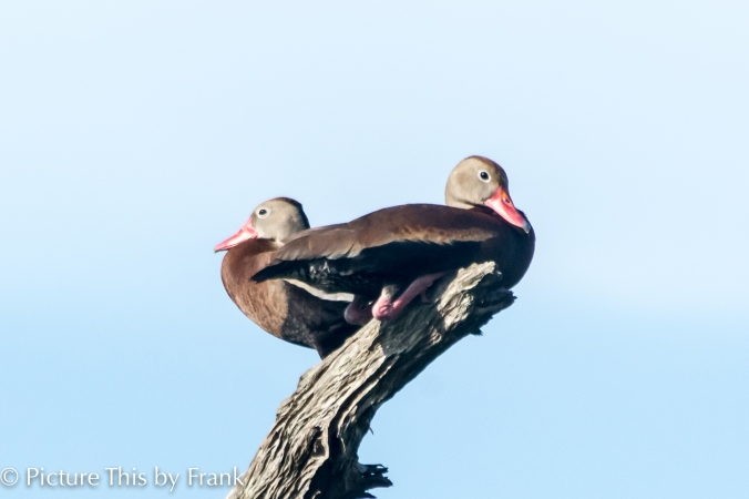 whistling-duck