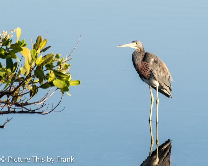 reddish-heron