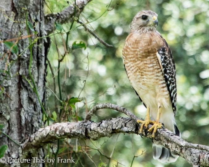 red-shoulder-hawk
