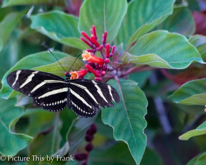 zebra-longwing-butterfly