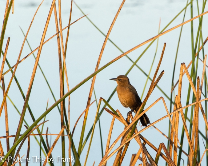 boat-tail-grackle