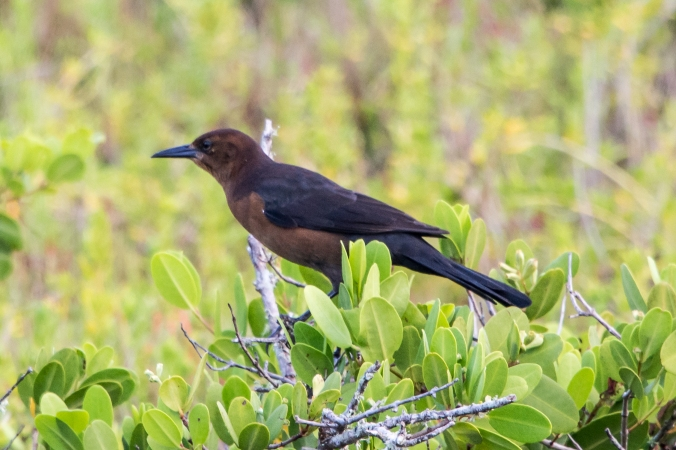 brown-headed-cow-bird