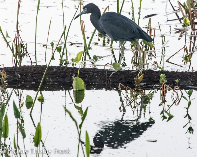 Little-Blue-heron