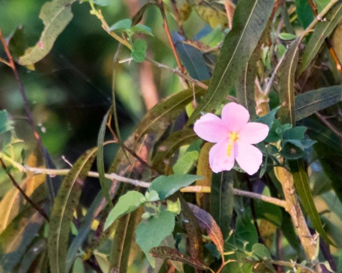 swamp-hibiscus