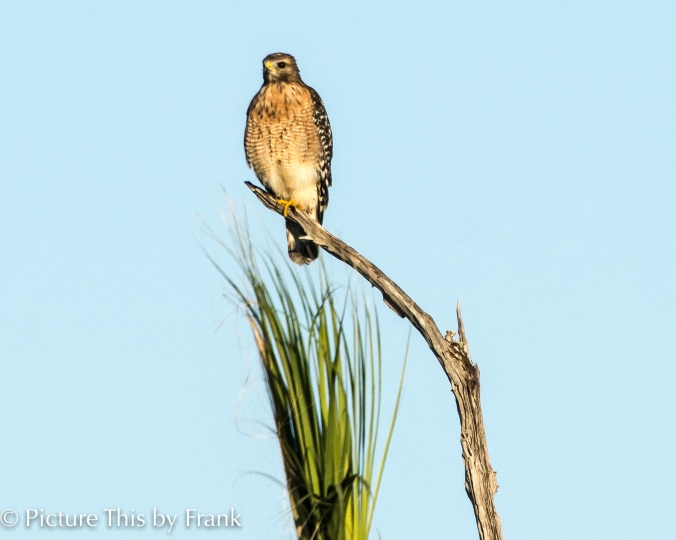 red-shoulder-hawk