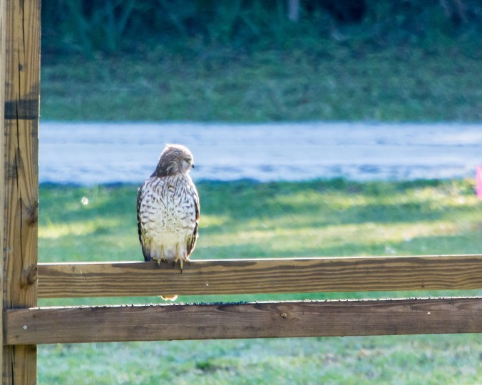 hawk (1 of 1)