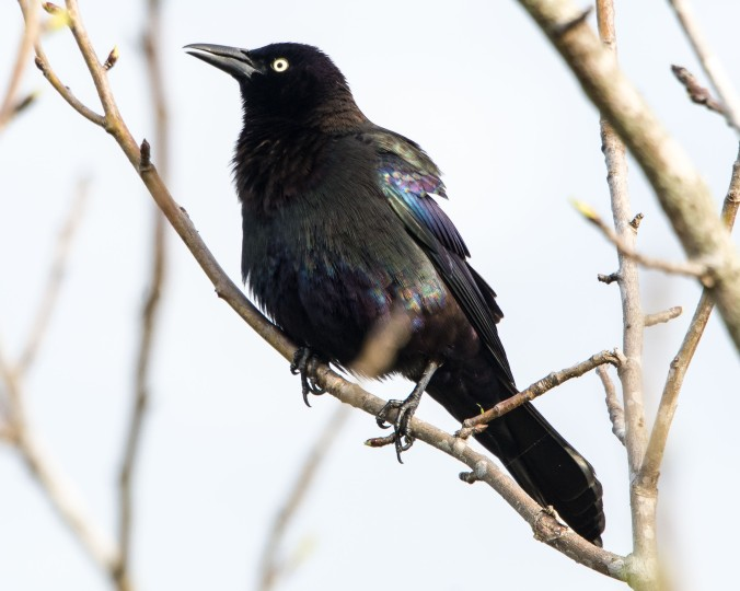 grackle (1 of 1)