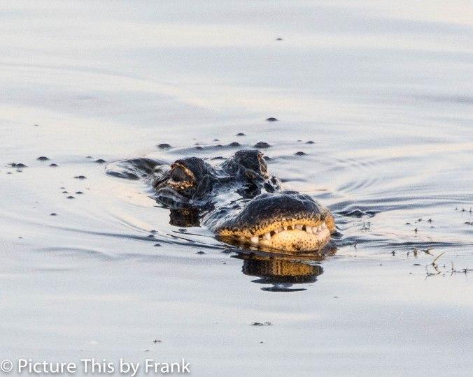 gator (1 of 1)