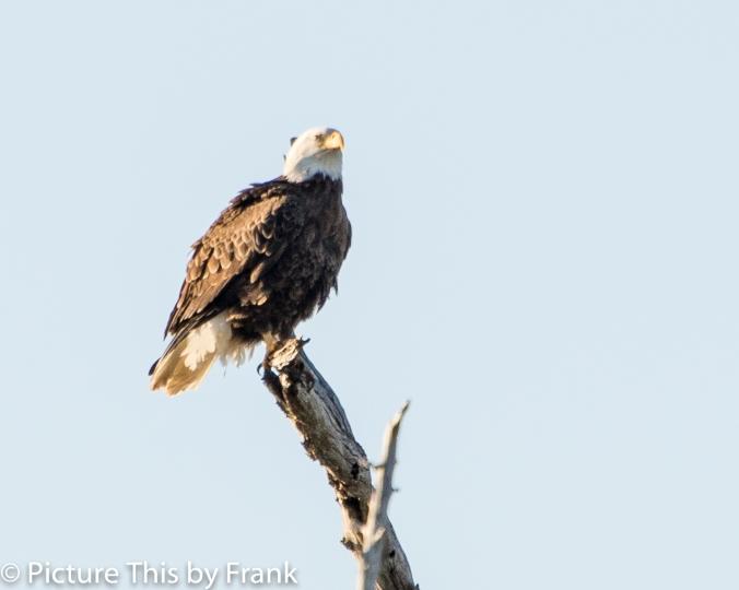 eagle-1-of-1