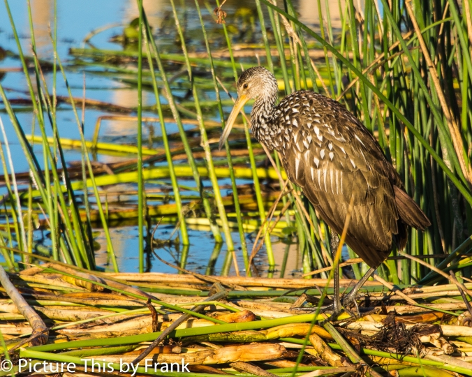 limpkin (1 of 1)