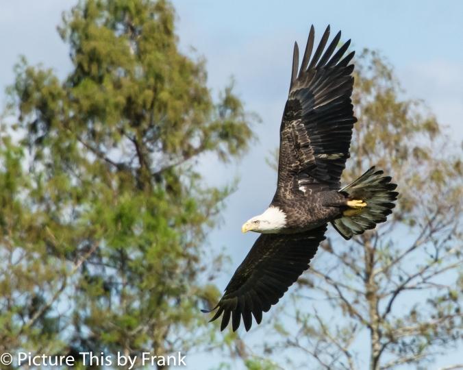 eagle (1 of 1)