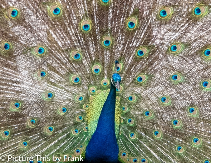 peacock (1 of 1)